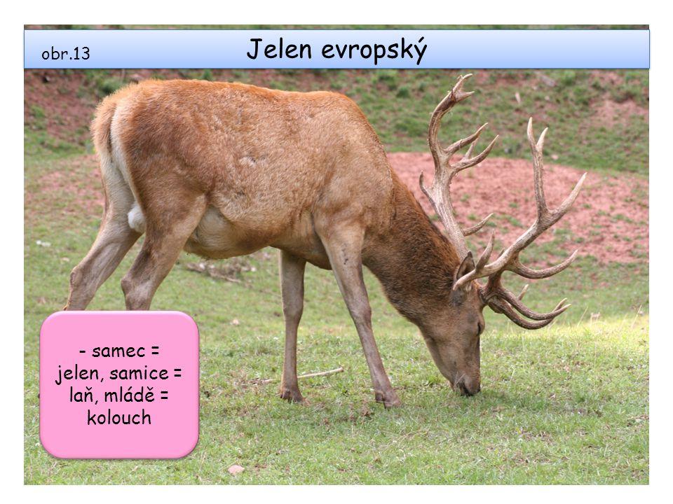 Jelen evropský obr.13 - samec = jelen, samice = laň, mládě = kolouch