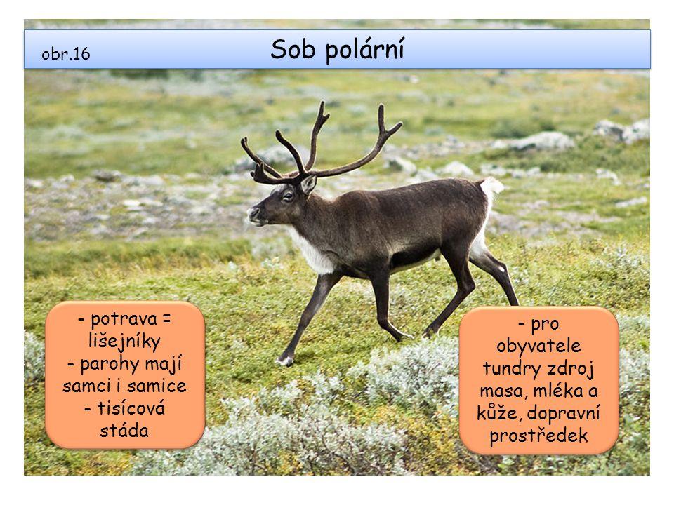 Sob polární obr.16 - potrava = lišejníky - parohy mají samci i samice - tisícová stáda - potrava = lišejníky - parohy mají samci i samice - tisícová s