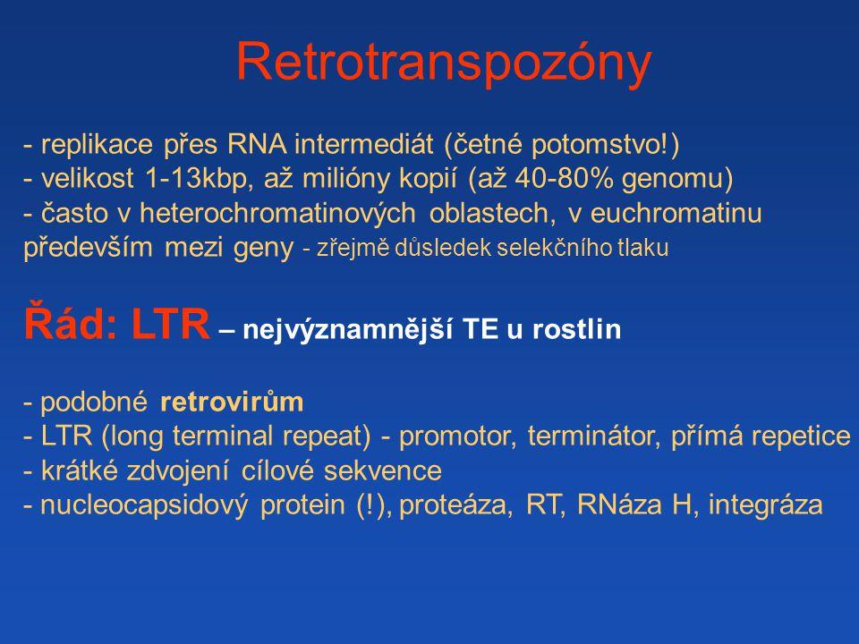Retrotranspozóny - replikace přes RNA intermediát (četné potomstvo!) - velikost 1-13kbp, až milióny kopií (až 40-80% genomu) - často v heterochromatinových oblastech, v euchromatinu především mezi geny - zřejmě důsledek selekčního tlaku Řád: LTR – nejvýznamnější TE u rostlin - podobné retrovirům - LTR (long terminal repeat) - promotor, terminátor, přímá repetice - krátké zdvojení cílové sekvence - nucleocapsidový protein (!), proteáza, RT, RNáza H, integráza