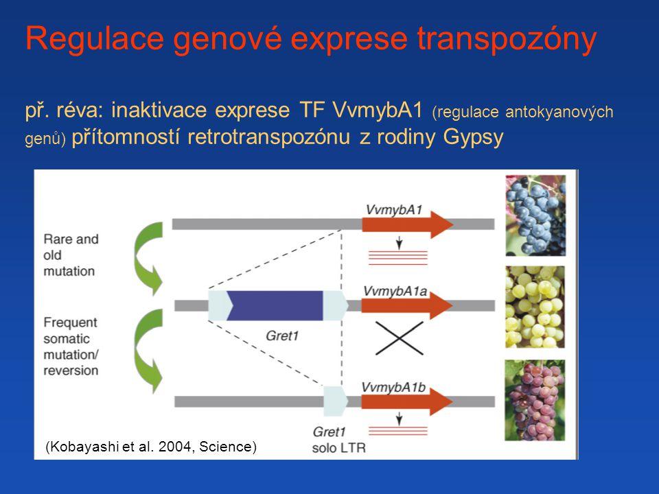 Regulace genové exprese transpozóny př. réva: inaktivace exprese TF VvmybA1 (regulace antokyanových genů) přítomností retrotranspozónu z rodiny Gypsy