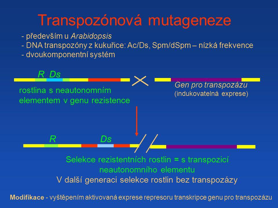 Gen pro transpozázu (indukovatelná exprese) Ds Transpozónová mutageneze - především u Arabidopsis - DNA transpozóny z kukuřice: Ac/Ds, Spm/dSpm – nízká frekvence - dvoukomponentní systém rostlina s neautonomním elementem v genu rezistence R Selekce rezistentních rostlin = s transpozicí neautonomního elementu V další generaci selekce rostlin bez transpozázy DsR Modifikace - vyštěpením aktivovaná exprese represoru transkripce genu pro transpozázu