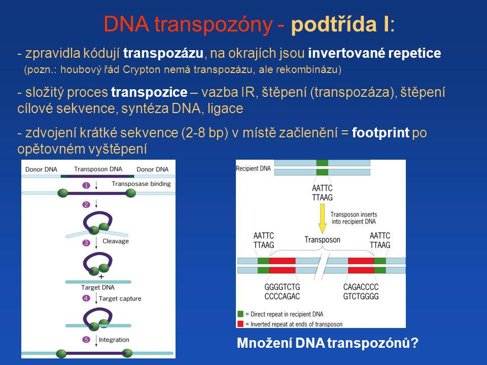 DNA transpozóny - podtřída I: - zpravidla kódují transpozázu, na okrajích jsou invertované repetice (pozn.: houbový řád Crypton nemá transpozázu, ale rekombinázu) - složitý proces transpozice – vazba IR, štěpení (transpozáza), štěpení cílové sekvence, syntéza DNA, ligace - zdvojení krátké sekvence (2-8 bp) v místě začlenění = footprint po opětovném vyštěpení Množení DNA transpozónů?