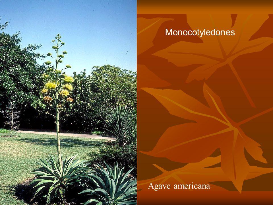 Agave americana Monocotyledones