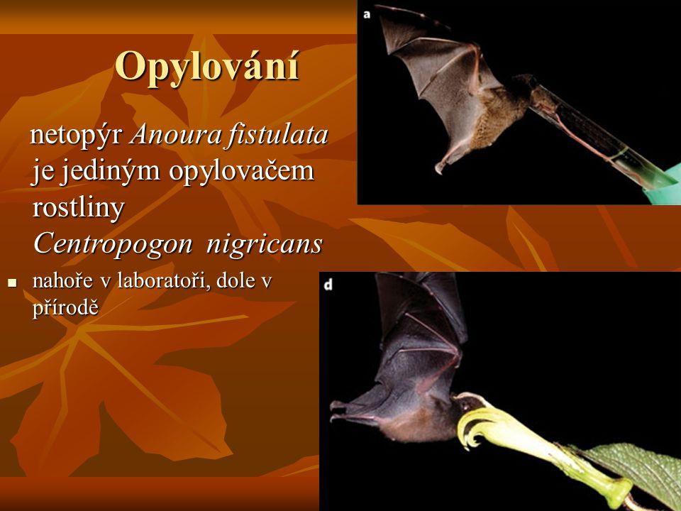 Opylování netopýr Anoura fistulata je jediným opylovačem rostliny Centropogon nigricans netopýr Anoura fistulata je jediným opylovačem rostliny Centro