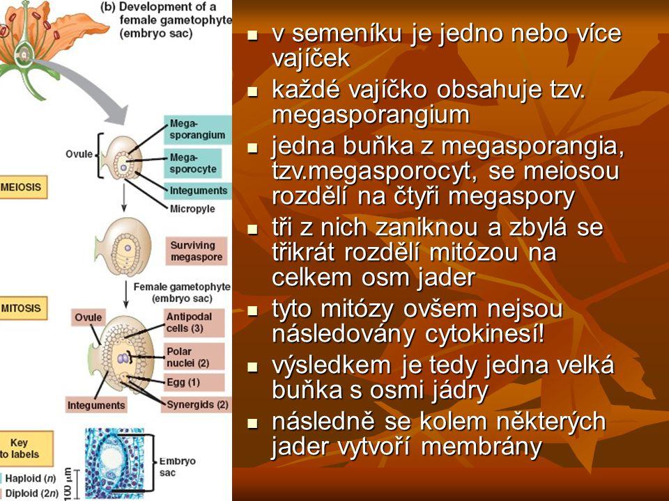 v semeníku je jedno nebo více vajíček v semeníku je jedno nebo více vajíček každé vajíčko obsahuje tzv. megasporangium každé vajíčko obsahuje tzv. meg