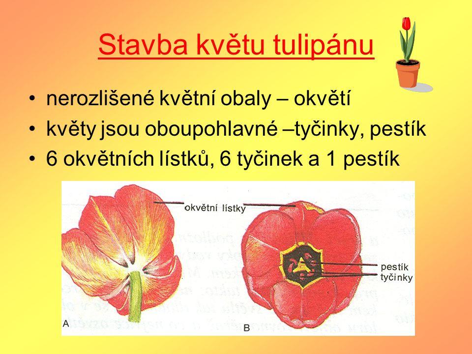 Stavba květu tulipánu nerozlišené květní obaly – okvětí květy jsou oboupohlavné –tyčinky, pestík 6 okvětních lístků, 6 tyčinek a 1 pestík