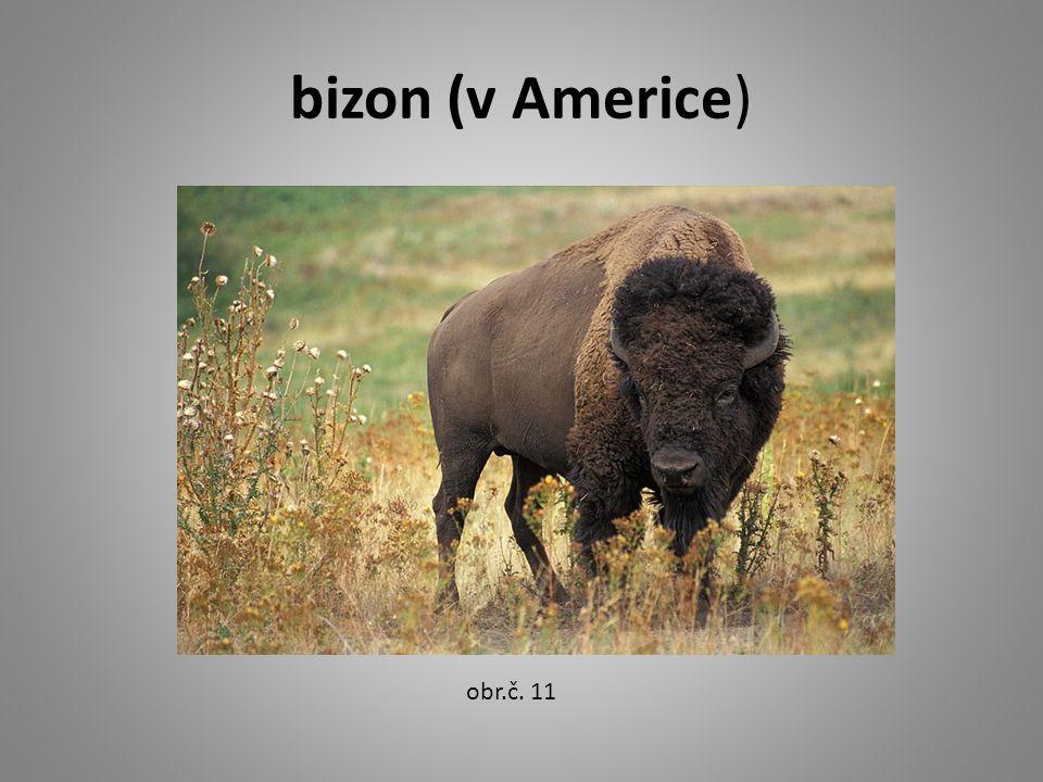 bizon (v Americe) obr.č. 11