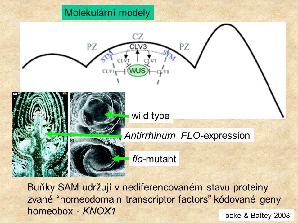 """Molekulární modely Buňky SAM udržují v nediferencovaném stavu proteiny zvané """"homeodomain transcriptor factors"""" kódované geny homeobox - KNOX1 Antirrh"""