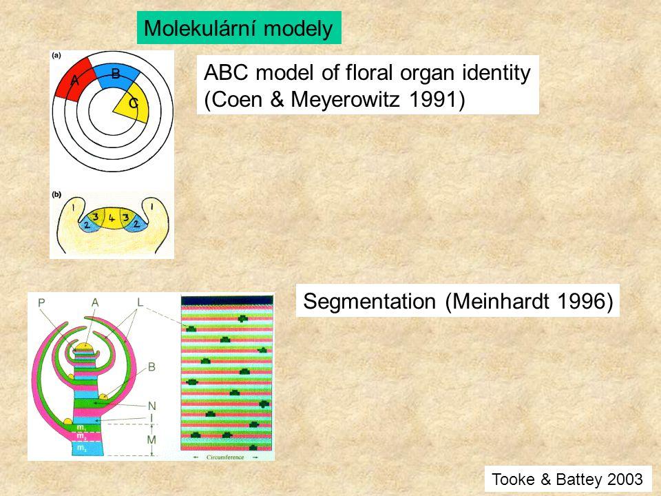 ABC model of floral organ identity (Coen & Meyerowitz 1991) Segmentation (Meinhardt 1996) Molekulární modely Tooke & Battey 2003