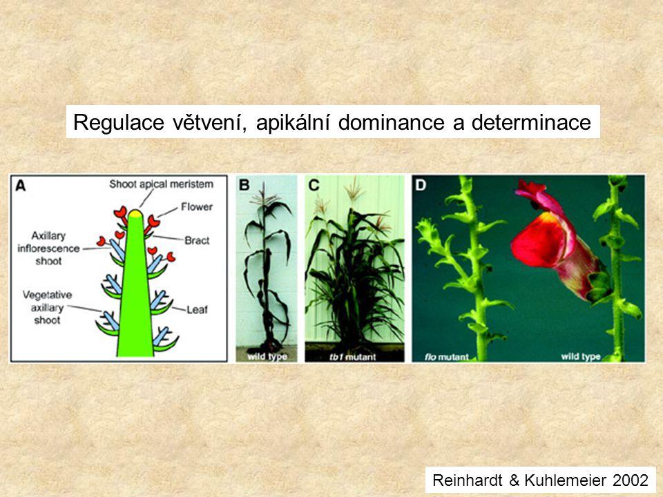 Regulace větvení, apikální dominance a determinace Reinhardt & Kuhlemeier 2002