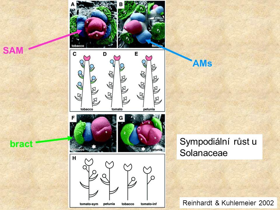 SAM AMs bract Sympodiální růst u Solanaceae Reinhardt & Kuhlemeier 2002