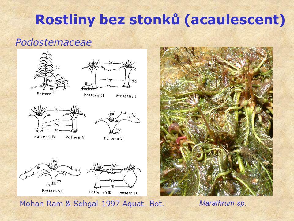 Rostliny bez stonků (acaulescent) Podostemaceae Marathrum sp. Mohan Ram & Sehgal 1997 Aquat. Bot.