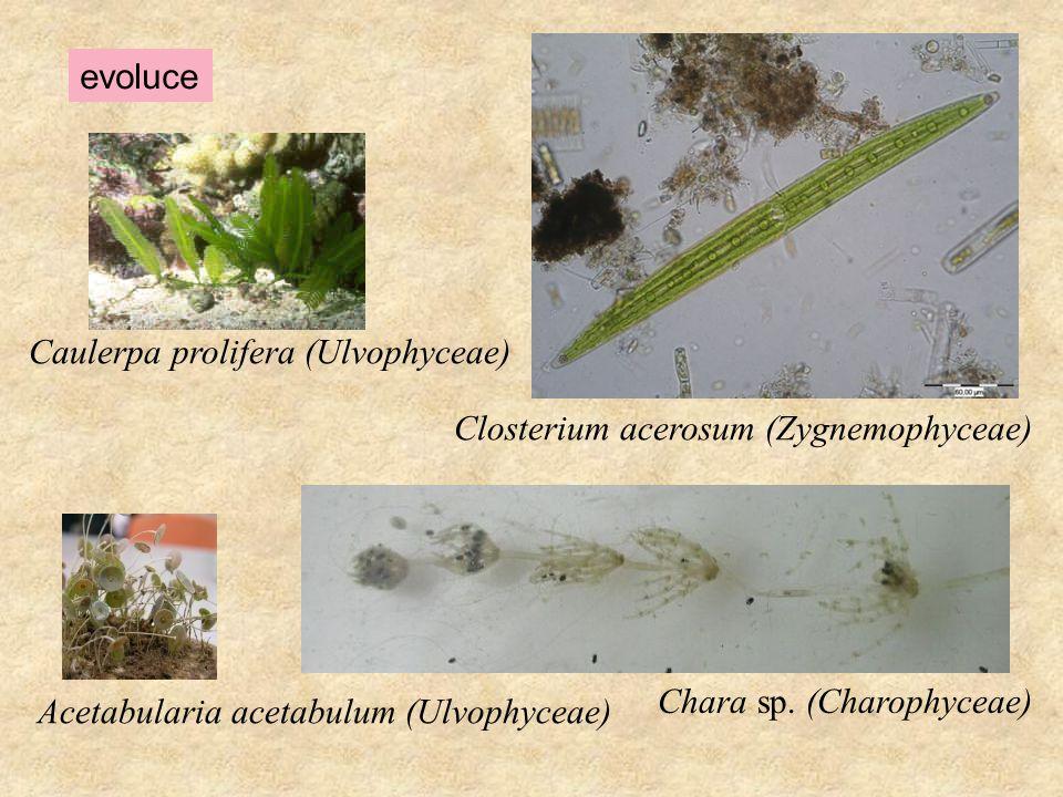 evoluce Caulerpa prolifera (Ulvophyceae) Acetabularia acetabulum (Ulvophyceae) Chara sp. (Charophyceae) Closterium acerosum (Zygnemophyceae)