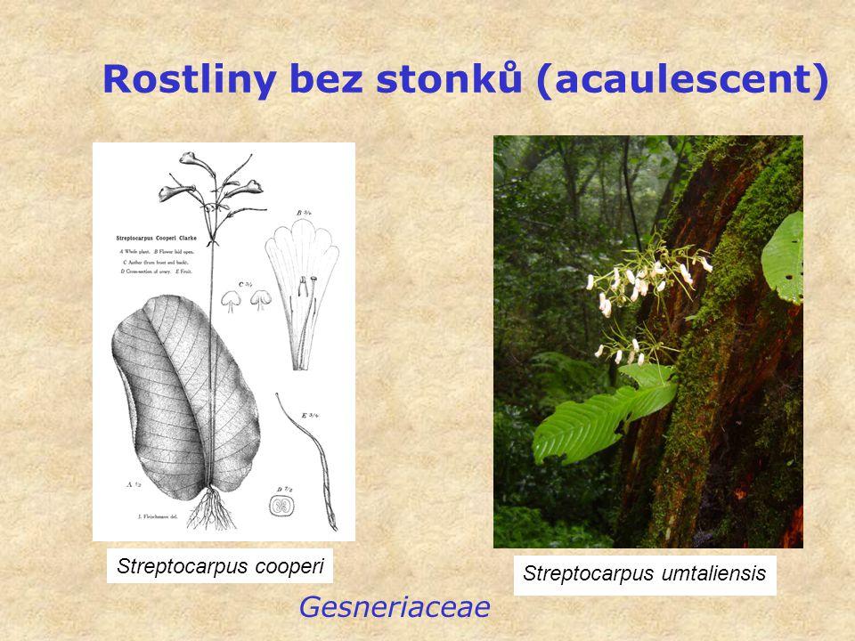 Rostliny bez stonků (acaulescent) Streptocarpus umtaliensis Gesneriaceae Streptocarpus cooperi