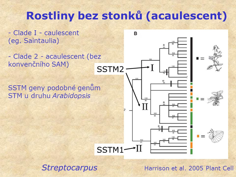 Rostliny bez stonků (acaulescent) Streptocarpus Harrison et al. 2005 Plant Cell SSTM1 SSTM2 - Clade I - caulescent (eg. Saintaulia) - Clade 2 - acaule