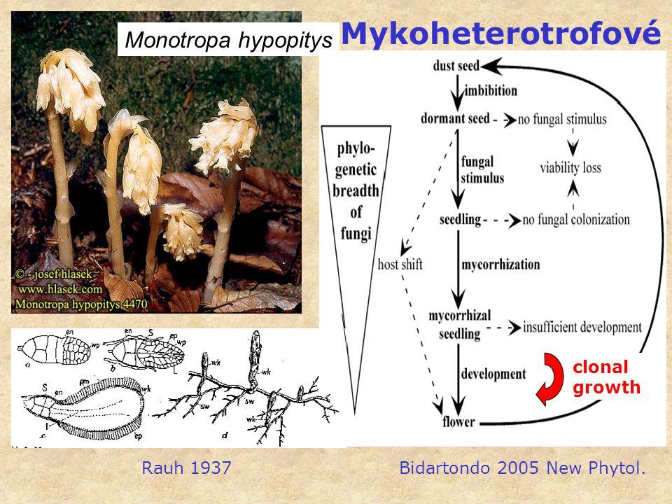 Monotropa hypopitys Rauh 1937 Bidartondo 2005 New Phytol. clonal growth Mykoheterotrofové