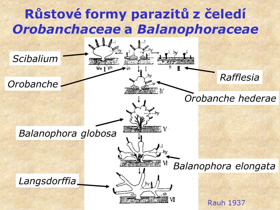 Růstové formy parazitů z čeledí Orobanchaceae a Balanophoraceae Orobanche Scibalium Rafflesia Orobanche hederae Balanophora globosa Balanophora elonga