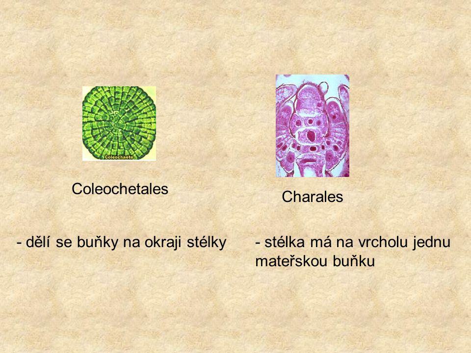 Coleochetales Charales - dělí se buňky na okraji stélky- stélka má na vrcholu jednu mateřskou buňku