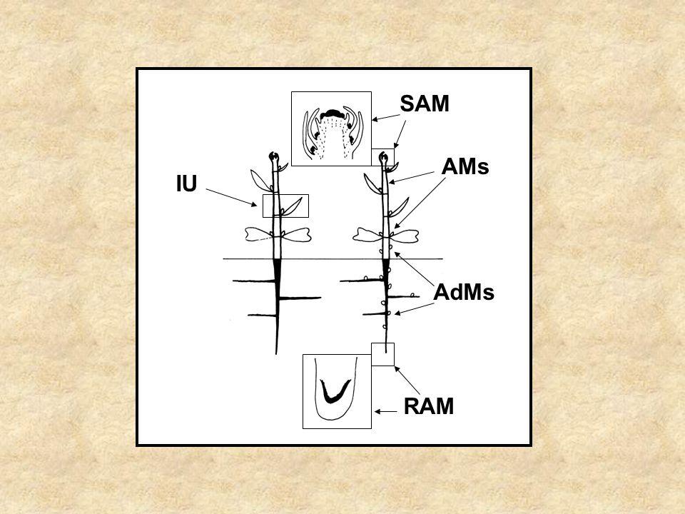 SAM AMs AdMs IU RAM