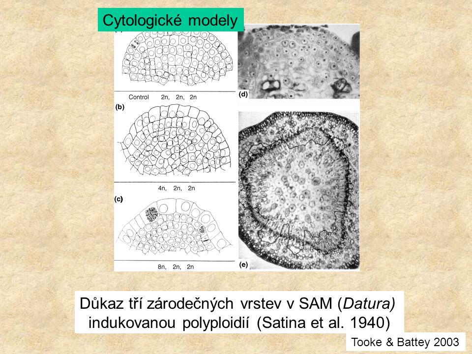 Důkaz tří zárodečných vrstev v SAM (Datura) indukovanou polyploidií (Satina et al. 1940) Cytologické modely Tooke & Battey 2003