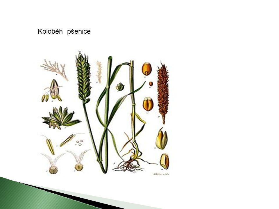 Koloběh pšenice