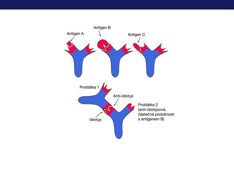 Exprese Ig v průběhu vyzrávání lymfocytů B