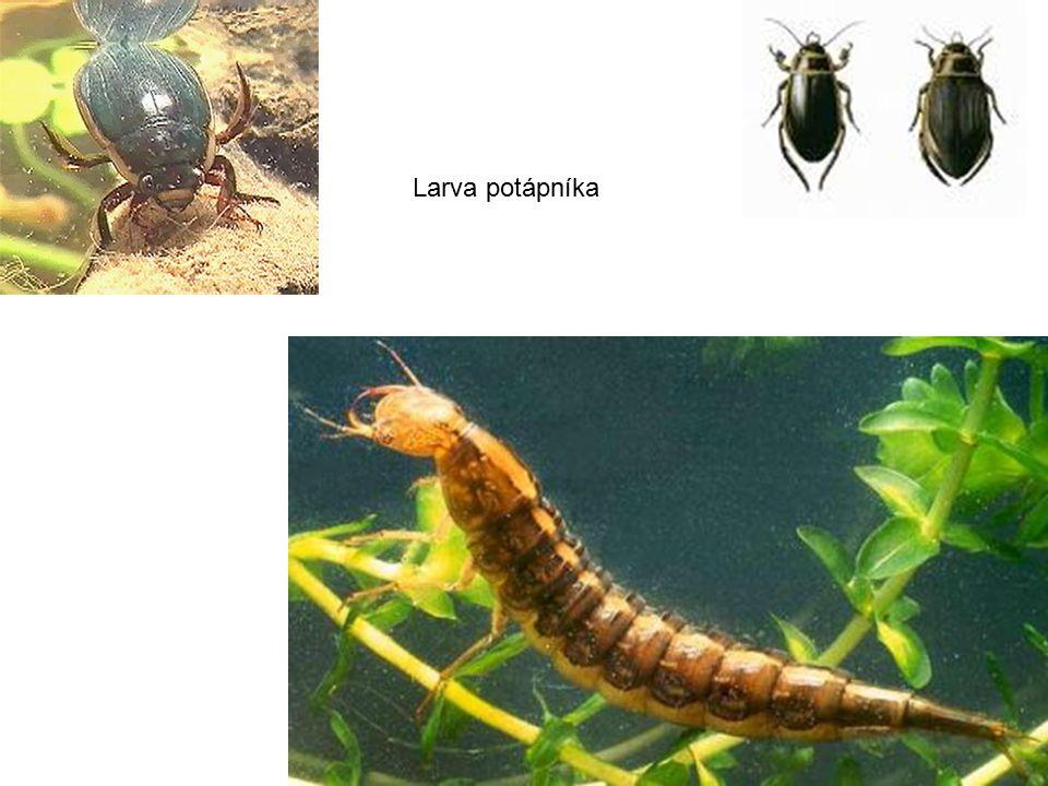Larva potápníka