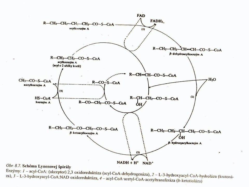 LYNENOVA SPIRÁLA -beta oxidace je cyklický pochod – postupné zkracování řetězce mastné kyseliny vždy o 2 atomy C -tento proces se opakuje do úplné degradace kyseliny, ale vždy musí zůstat 2 atomy C pro biosyntézu!!.