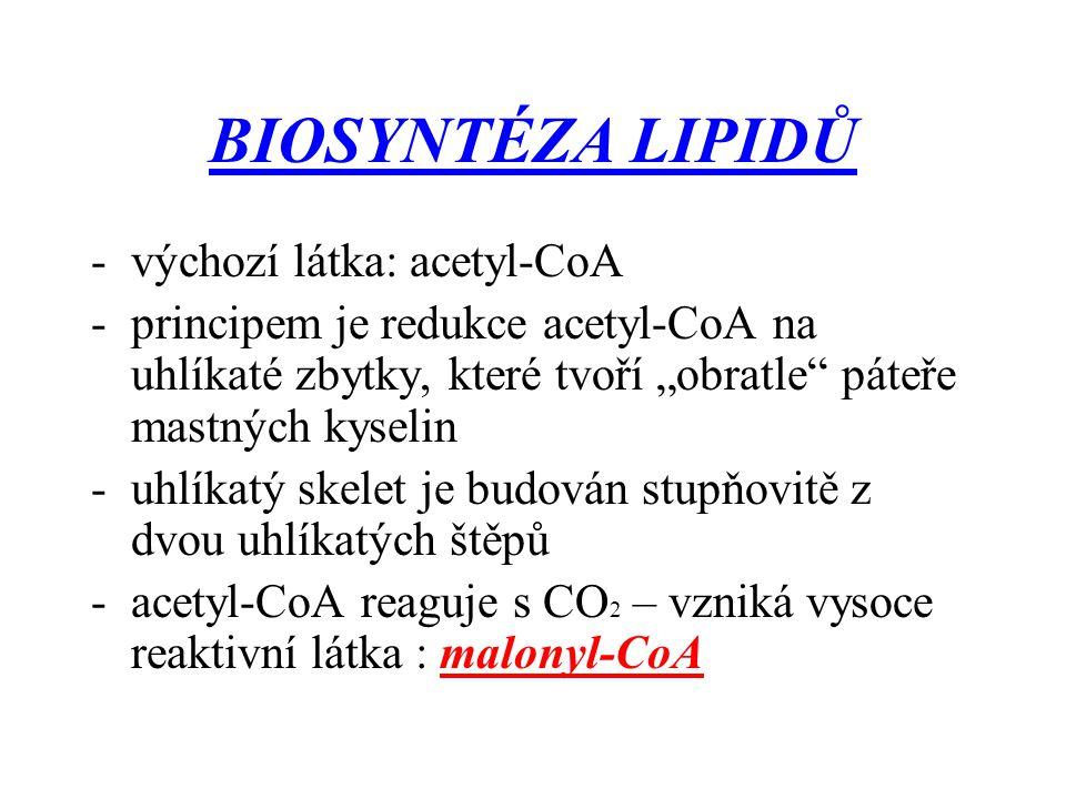"""BIOSYNTÉZA LIPIDŮ -výchozí látka: acetyl-CoA -principem je redukce acetyl-CoA na uhlíkaté zbytky, které tvoří """"obratle"""" páteře mastných kyselin -uhlík"""