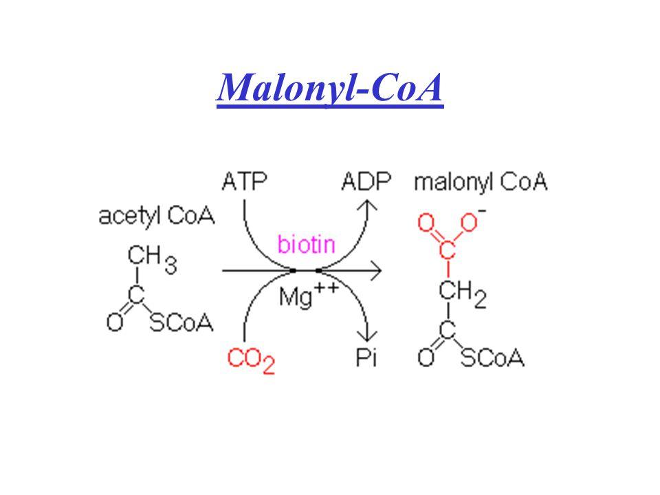 Malonyl-CoA