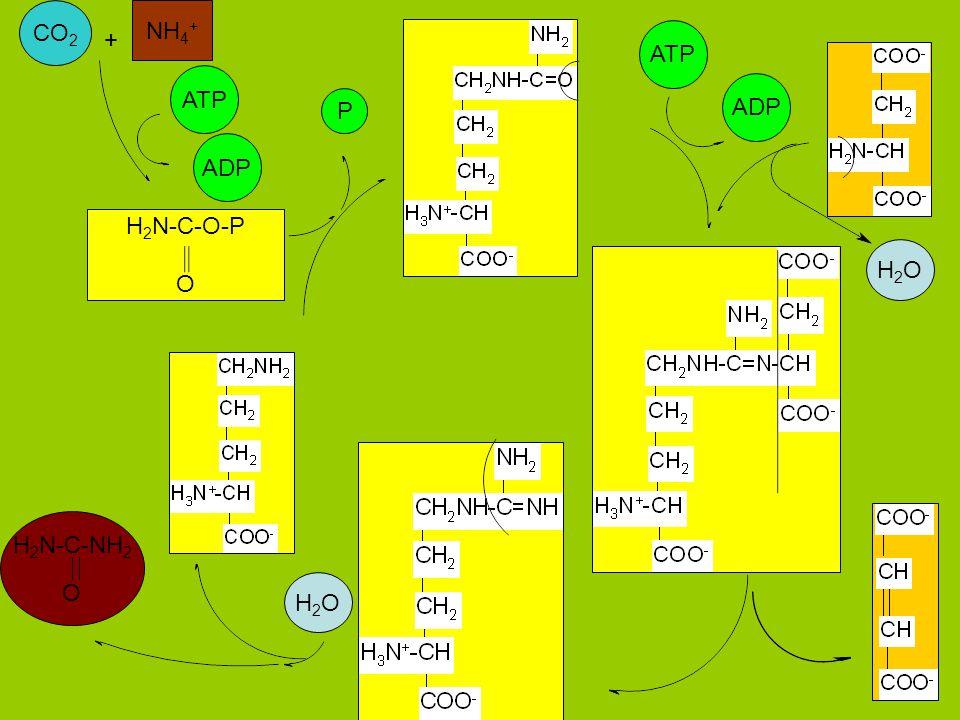 CO 2 NH 4 + H 2 N-C-O-P O ATP ADP H 2 N-C-NH 2 O ATP ADP + H2OH2O P H2OH2O
