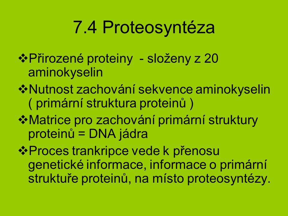 7.4 Proteosyntéza  Přirozené proteiny - složeny z 20 aminokyselin  Nutnost zachování sekvence aminokyselin ( primární struktura proteinů )  Matrice pro zachování primární struktury proteinů = DNA jádra  Proces trankripce vede k přenosu genetické informace, informace o primární struktuře proteinů, na místo proteosyntézy.