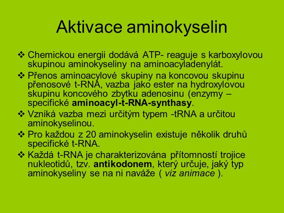 Aktivace aminokyselin  Chemickou energii dodává ATP- reaguje s karboxylovou skupinou aminokyseliny na aminoacyladenylát.