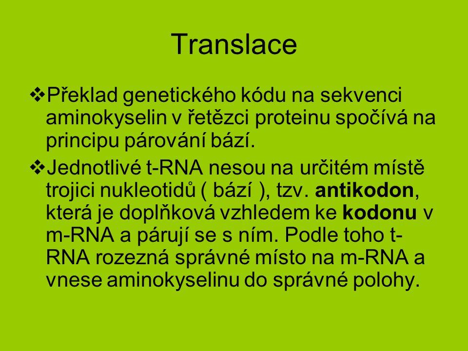 Translace  Překlad genetického kódu na sekvenci aminokyselin v řetězci proteinu spočívá na principu párování bází.