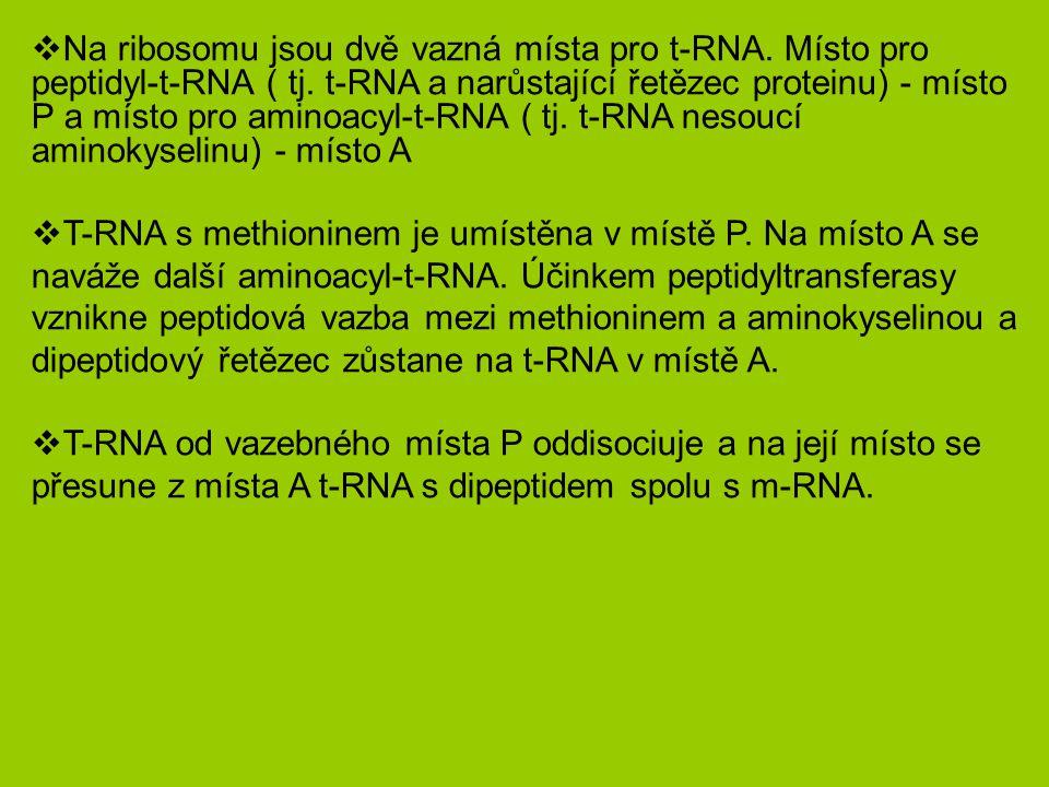  Na ribosomu jsou dvě vazná místa pro t-RNA.Místo pro peptidyl-t-RNA ( tj.
