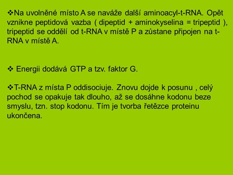  Na uvolněné místo A se naváže další aminoacyl-t-RNA.