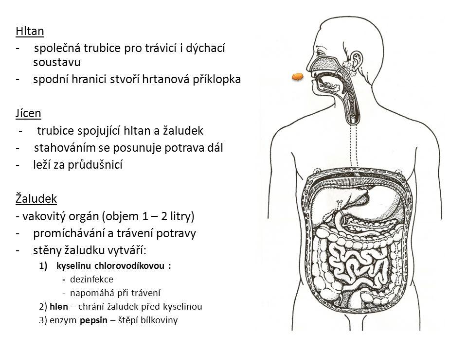 Hltan - společná trubice pro trávicí i dýchací soustavu -spodní hranici stvoří hrtanová příklopka Jícen - trubice spojující hltan a žaludek - stahován