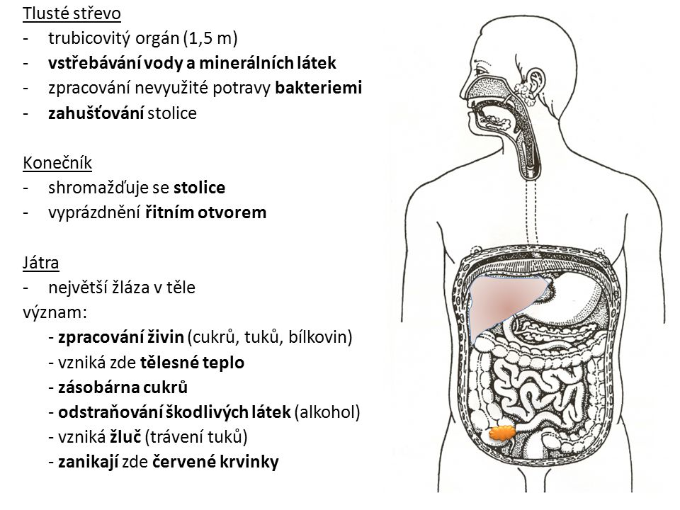 Tlusté střevo -trubicovitý orgán (1,5 m) -vstřebávání vody a minerálních látek -zpracování nevyužité potravy bakteriemi -zahušťování stolice Konečník