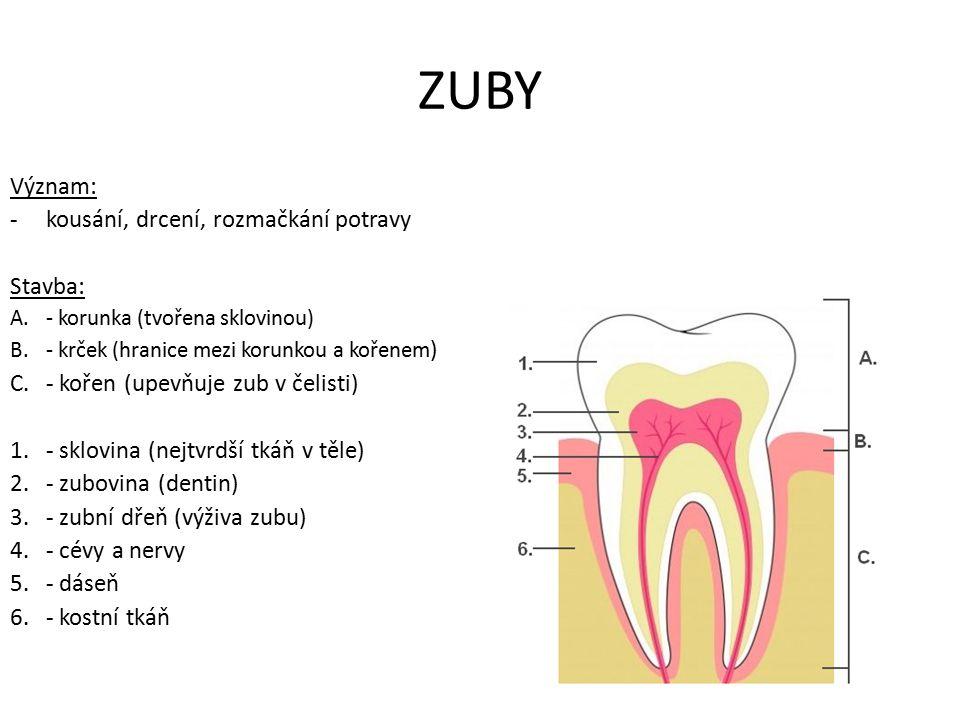 Typy zubů Podle významu dělíme zuby: a)řezáky – ukusování b)špičáky – trhání c)třenové – drcení d)stoličky – drcení mléčný chruptrvalý chrup ½ roku – 3 roky5 – 18 let 20 zubů32 zubů 8 x řezák 4 x špičák 8 x stolička 8 x řezák 4 x špičák 8 x třenové 12 x stolička