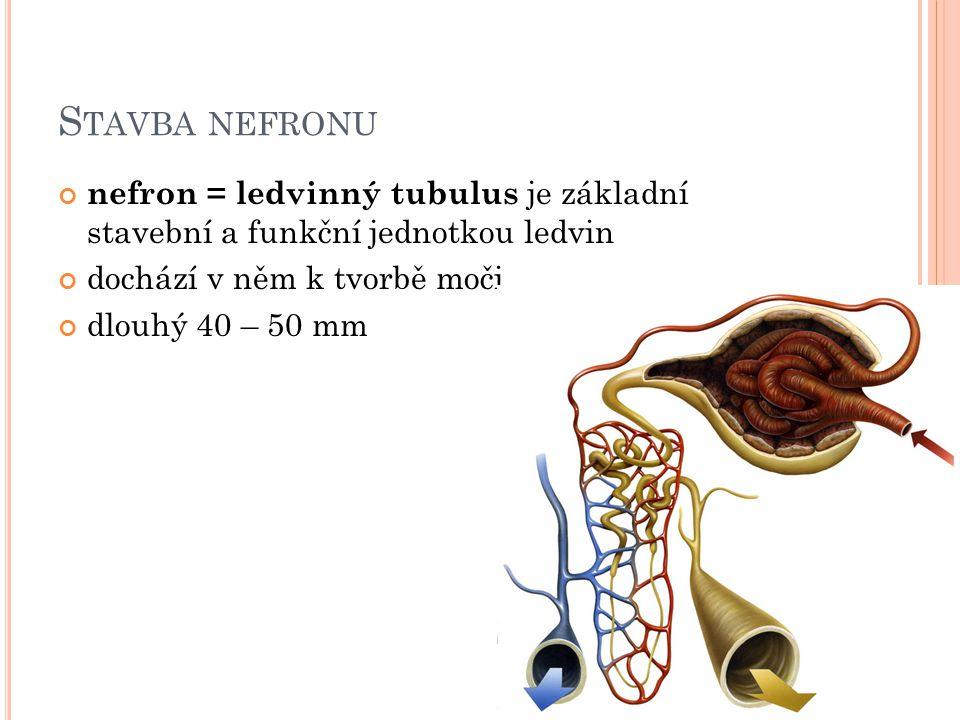 S TAVBA NEFRONU nefron = ledvinný tubulus je základní stavební a funkční jednotkou ledvin dochází v něm k tvorbě moči dlouhý 40 – 50 mm