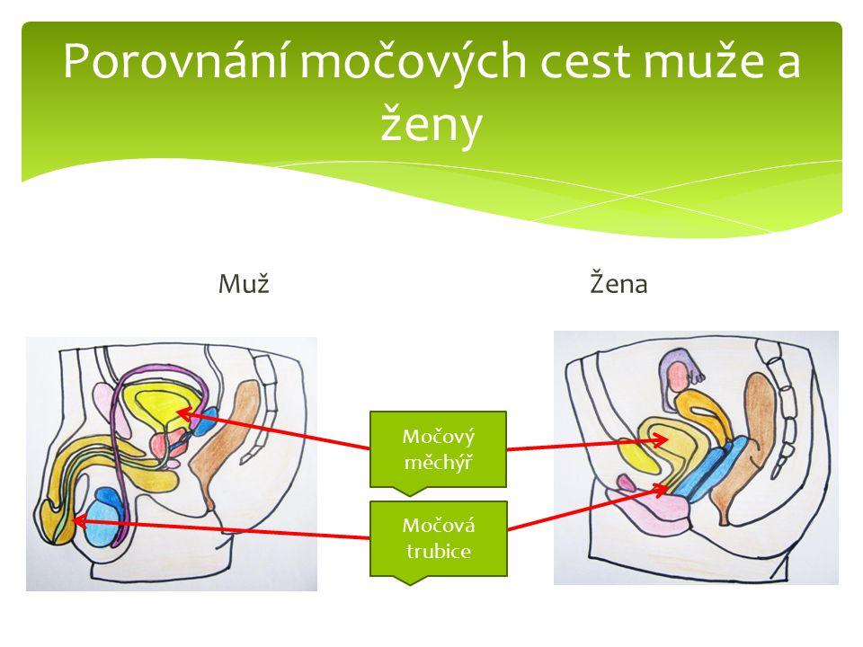 Porovnání močových cest muže a ženy MužŽena Močový měchýř Močová trubice