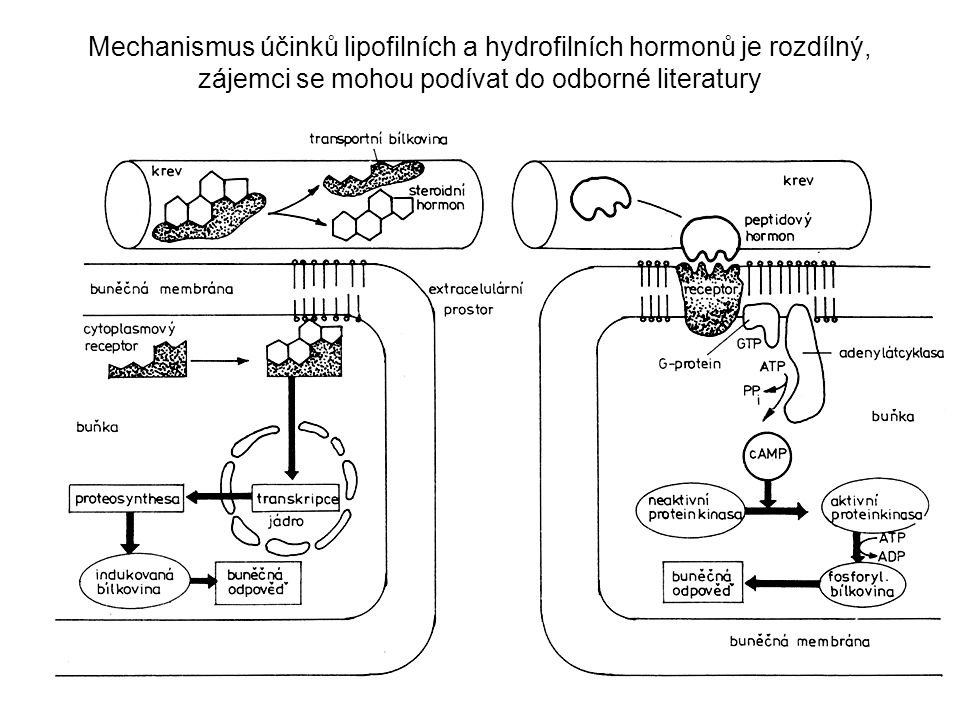 Mechanismus účinků lipofilních a hydrofilních hormonů je rozdílný, zájemci se mohou podívat do odborné literatury
