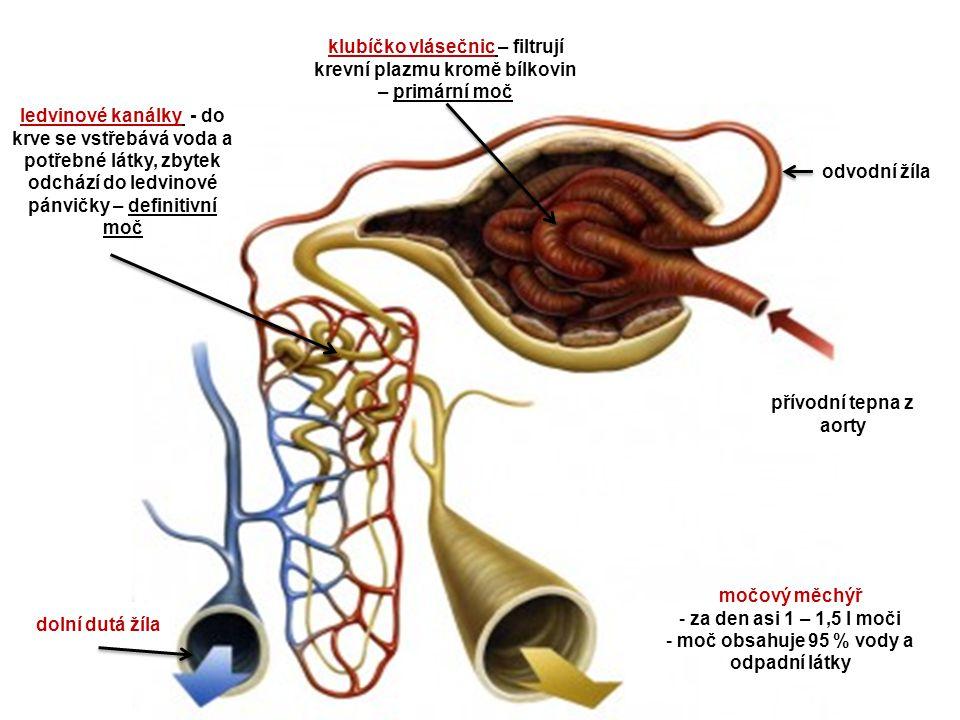 přívodní tepna z aorty odvodní žíla klubíčko vlásečnic – filtrují krevní plazmu kromě bílkovin – primární moč ledvinové kanálky - do krve se vstřebává