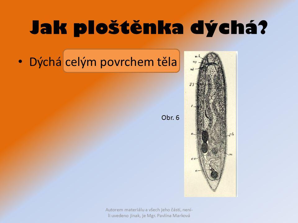 Jak ploštěnka dýchá? Dýchá celým povrchem těla Autorem materiálu a všech jeho částí, není- li uvedeno jinak, je Mgr. Pavlína Marková Obr. 6