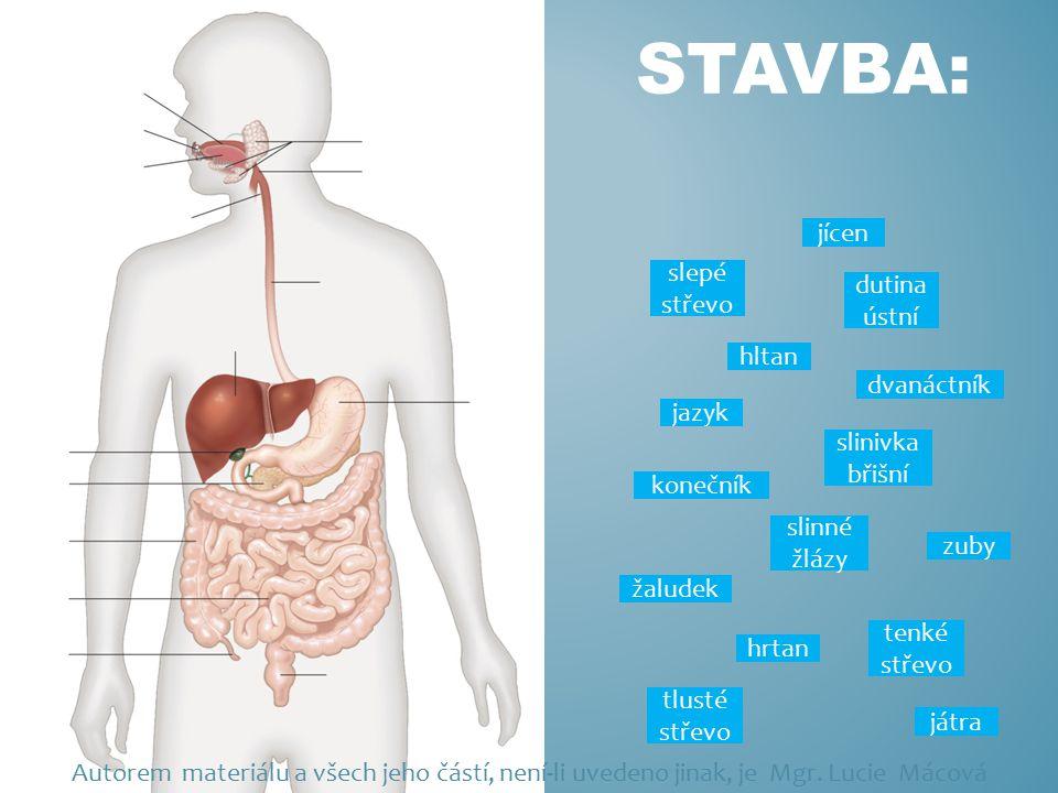 STAVBA: jícen játra žaludek slinivka břišní konečník slepé střevo dutina ústní zuby jazyk slinné žlázy hrtan hltan dvanáctník tlusté střevo tenké stře