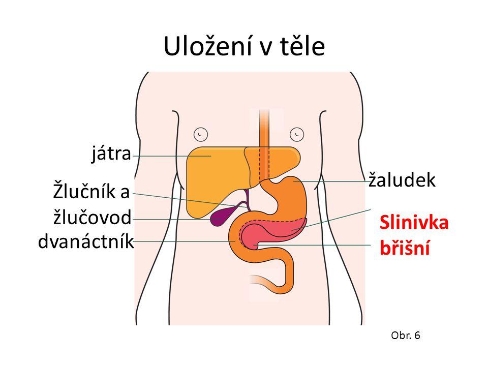 Uložení v těle játra dvanáctník Žlučník a žlučovod žaludek Slinivka břišní Obr. 6