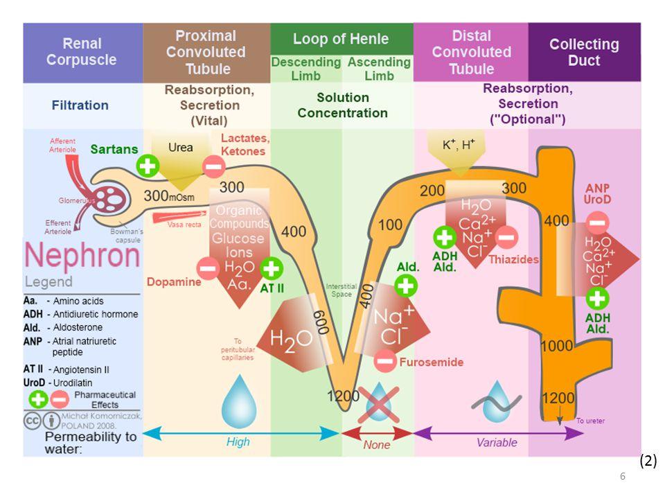 Činnost nefronu současně probíhá vylučování látek tělu cizích, např.