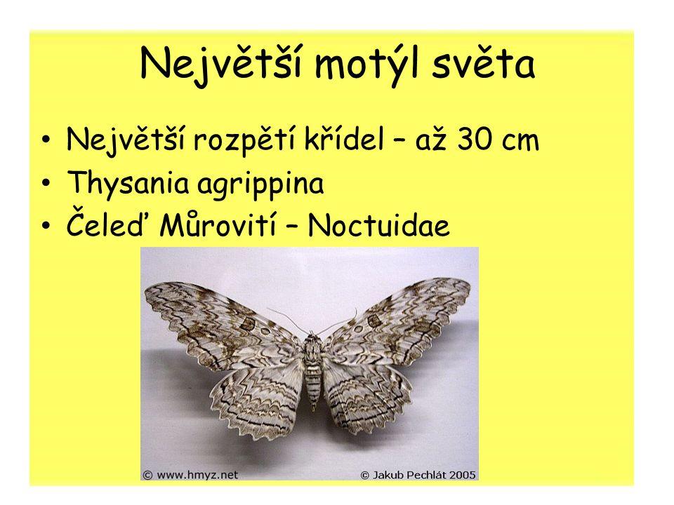 Největší motýl světa Největší rozpětí křídel – až 30 cm Thysania agrippina Čeleď Můrovití – Noctuidae