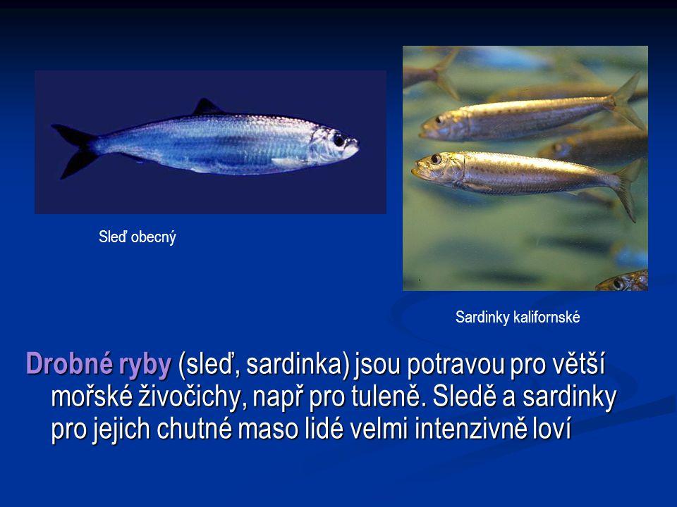 Drobné ryby (sleď, sardinka) jsou potravou pro větší mořské živočichy, např pro tuleně.