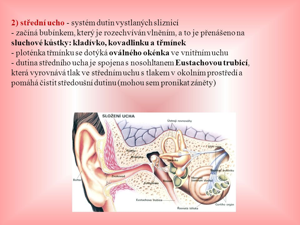 2) střední ucho - systém dutin vystlaných sliznicí - začíná bubínkem, který je rozechvíván vlněním, a to je přenášeno na sluchové kůstky: kladívko, kovadlinku a třmínek - ploténka třmínku se dotýká oválného okénka ve vnitřním uchu - dutina středního ucha je spojena s nosohltanem Eustachovou trubicí, která vyrovnává tlak ve středním uchu s tlakem v okolním prostředí a pomáhá čistit středoušní dutinu (mohou sem pronikat záněty)